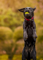 Time to Play (Shanaro) Tags: light dog pet black ball photography labrador play action young canine retriever tennis playful fullbody