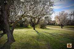 I want to do to you what spring does to almond trees (El Saskuas) Tags: sf trees primavera la los spring do you almond lo que want what does fotografia quiero hace almendros i hacerte saskuas