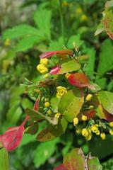 IMG_1949 (CrisMali) Tags: cemetary brightred bellugraveyard everredbush