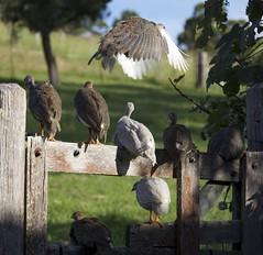 guinea keets on the gate (cskk) Tags: guinea farm australia nsw fowl currawong guineafowl freerange keets
