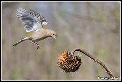 Quello lo prendo! (torben84) Tags: nature fauna fly nikon natura volo tamron avifauna parus maior decollo tamronlens cinciallegra fringuello atterraggio landig fringuelli 150600 d7200