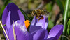 Lady Bee on shopping tour with her handbag (deta k) Tags: flowers macro bag bee macromondays nikond5100