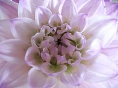 IMG_8664 (mccracken_molly) Tags: pink stilllife plant flower colour losangeles pastel