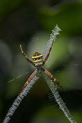 St Andrew's Cross Spider (Geoffsnaps) Tags: macro st spider nikon andrews cross g web silk orb micro 28 nikkor fx f28 vr afs 105mm argiopekeyserlingi standrewscrossspider f28g 28g d810 nikond810 nikonnikkor105mmf28gafsvrmicromacro