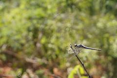 Liblula (Insecta: Odonata) (alcesterdiego) Tags: brasil fauna bahia odonata ecologia semirido caetit insentos