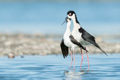 The Dance (tompost) Tags: bird birds san francisco blackneckedstilt bayarea mating wading courtship radioroad