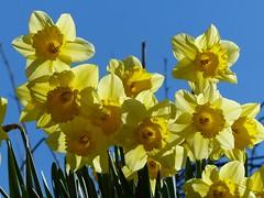 Village Flowers (sunset1uk) Tags: flowers england spring westsussex yellowflower daffodils springflowers yellowflowers poynings esenciadelanaturaleza