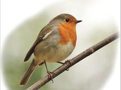 rouge gorge rougegorge familier Paris - robin - parc de sceaux (frimoussec) Tags: paris bird nature robin rouge gorge vol parc oiseau rougegorge sceaux chant plume familier