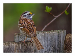White Throated Sparrow (jiroseM43) Tags: nature lumix panasonic sparrow 100300mm gh3 dmcgh3