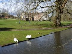 P1020003 Mottisfont Abbey (Photos-Tony Wright) Tags: uk abbey birds easter march spring hampshire swans nationaltrust mute 2016 mottisfont
