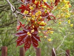 Unobtrusive, modest maple flower (jano45) Tags: flower maple