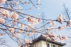 Cherry Blossoms With The Traditional Style Building (asusmt) Tags: blue sky flower building tree cherry spring branch blossom outdoor cluster plum sunny sakura