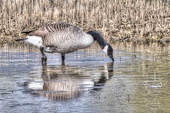 Canadian Goose (garyd03) Tags: reflection canadian goose gary davis gdimages ryemeadsapril2016