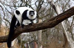Vari noir et blanc (Carahiah) Tags: rhodes parc saintecroix animalier