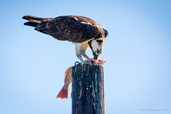 Osprey Lunchtime (halladaybill) Tags: birds raptor osprey seahawk uppernewportbay bbsc nikond7100