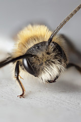 Male miner bee on sunchair #4 (Lord V) Tags: macro bug insect bee andrena minerbee