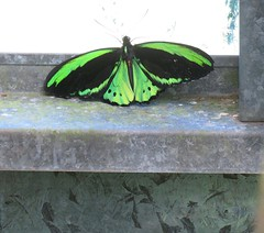 Ornithoptera euphorion 1 (barryaceae) Tags: house butterfly harbour australia nsw coffs the ausbutterfly