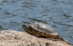 Basking in the Sun   1Z9A4514 (DCLbyrdnyrd) Tags: turtle painted basking