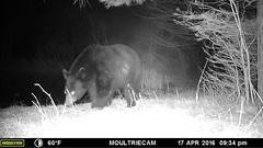 Bear (tapaculo99) Tags: bear animal mammal vermont ursusamericanus gamecam americanblackbear trailcam