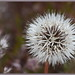 Silver Puff Flower