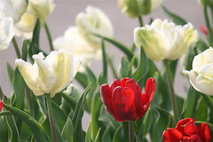 IMG_7817 (Five eyes) Tags: flowers flower holland color nature beauty garden spring dof tulips beds michigan fresh neighborhood beginning tuliptime promise lanes 2016