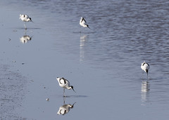 Avocets (andynayler) Tags: birds spring rspb leightonmoss