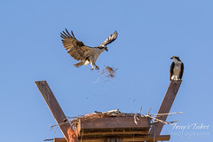 Male Osprey tosses grass toward its nest - Sequence - 11 of 19