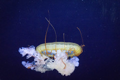 jellyfish#3 (onkelwolfi) Tags: blue fish berlin aquarium jellyfish purple jelly
