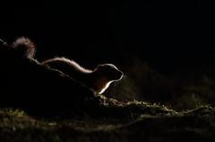 Pine marten (Mike Mckenzie8) Tags: uk light wild tree pine canon mammal scotland back nocturnal britain wildlife flash scottish highland bark british backlit rim martes