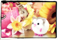 Play in Peace,  FIFI  ... :( (pyza*) Tags: pet animal rodent critter pip hamster fifi syrian hammie chomik filifionka playinpeace