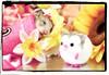 Play in Peace, ♥ FIFI ♥ ... :( (pyza*) Tags: pet animal rodent critter pip hamster fifi syrian hammie chomik filifionka playinpeace