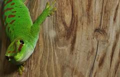 Madagascar Day Gecko (Phelsuma madagascariensis) _DSC0067 (ikerekes81) Tags: zoo washingtondc smithsonian dc washington nikon day reptile lizard national nationalzoo gecko kerekes madagascar ik istvan phelsumamadagascariensis rdc phelsuma nikond3200 dczoo madagascariensis smithsoniannationalzoologicalpark smithsoniannationalzoo d3200 washingtondczoo reptilediscoverycenter madagascardaygecko zoosmithsonian 18105mm sb700 istvankerekes reptilediscoverycenterzoonationalnational madagascardaygeckophelsumamadagascariensis