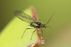 Small bug (Patrcia. Ferreira) Tags: macro green nature canon lite twin insects 100mm l 6d mt24ex