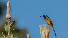 orange breasted sunbird (andre diener) Tags: blue sky flower fauna flora bud shrub avian protea sunbird orangebreasted