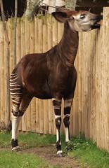 Okapi - Chester Zoo (Gilli8888) Tags: animals zoo cheshire chester okapi chesterzoo zoopark zooanimals