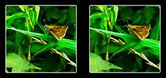 Crossline Skipper Butterfly, Polites Origenes 1 - Crosseye 3D (DarkOnus) Tags: macro closeup butterfly insect lumix stereogram 3d crosseye pennsylvania skipper panasonic stereo stereography buckscounty crossview polites origenes crossline dmcfz35 darkonus