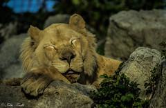 schhh....please don't disturb (tinellifabio) Tags: parco animal canon lion riposo leone dormire animale nanna carnivoro aperto posa 600d pennica mammifero 55250