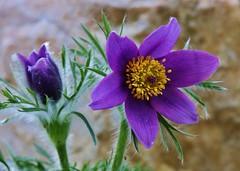 Pulsatilla vulgaris (Hugo von Schreck) Tags: flower macro blume makro blte pulsatillavulgaris kuhschelle f13 tamron28300mmf3563divcpzda010 canoneos5dsr hugovonschreck