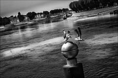 Changement de quart (vedebe) Tags: street city bw france monochrome architecture eau noiretblanc nb provence animaux rue arles ville mouette oiseaux fleuve urbain mouettes netb