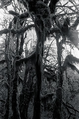 Menacing (that analogue guy) Tags: trees washington moss nikon kodak trix 11 d76 400 olympics fm hohrainforest hallofmosses nikkorh28mmf35