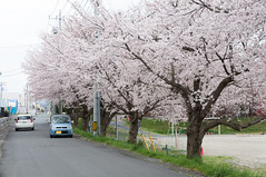 Somewhere passed by (Wunkai) Tags: car japan  cherryblossom sakura   ibarakiken 1chome 1  sakuragawashi