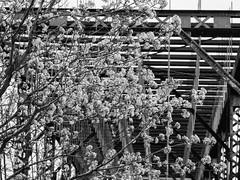 { springtime } (Web-Betty) Tags: flowers trees spring bnw fujineopan400