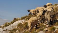 Parc national du Durmitor Montngro (Catherine 74) Tags: mountains ships moutons montagnes