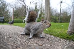Curious fearless squirrel (Vladimir Yaitskiy) Tags: park uk london nature grass animal fur squirrel kyoto funny tail curious kioto fearless hollandpark kyotopark