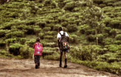 Learning Rd (Saint-Exupery) Tags: leica tea candid plantation srilanka te plantacion robado