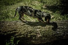 #205 of 365 - Walk in the woods (Ruadh Sionnach) Tags: camera wild dog pet naturaleza luz animal animals canon outdoors ar natural natureza naturallight dachshund vida cachorro amateur animais livre selvagem arlivre wildness canoncamera amateurphotographer nadur t5i canont5i