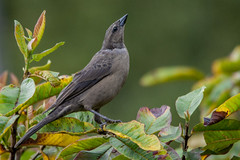 Molothrus bonariensis -female- (Shiny Cowbird / Chamn) (PriscillaBurcher) Tags: ngc npc tordo shinycowbird molothrusbonariensis dsc3637 avesdecolombia tordorenegrido chamn tordocomn birdsfromcolombia tordoazulino