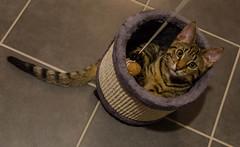 DSC_0102-1-2 (chat_44) Tags: cat chat animaux yoshi chaton flin miaou tigr rwing
