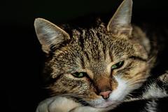 We're so wonderfully wonderfully wonderfully Wonderfully pretty (NikNak Allen) Tags: portrait pet face animal cat fur nose paw eyes close tabby ears catportrait