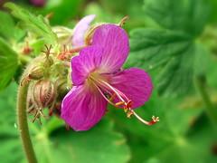 Geranium,  (R_Ivanova) Tags: pink plant flower color green nature garden sony geranium    rivanova